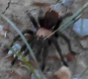 Innocent Tarantula
